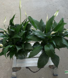Spathiphyllum Maya Dee & Emerald Star 6 in