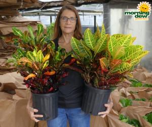 Croton Mamey & Petra 8 in