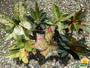 Aglaonema Asstd Colorful Varieties 5 in
