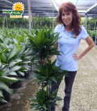 Dracaena Green Jewel Cane 10 in
