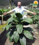 Spathiphyllum Sensation 14 in