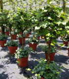 Topiary Ivy Assortments 12 in