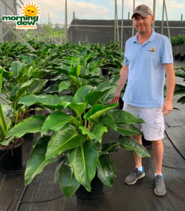 Philodendron Congo 14 in