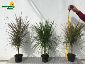 Dracaena Marginata Braid 6 in