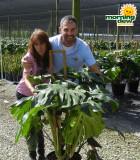 Philodendron Monstera Deliciosa 12 in