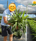 Yucca Tip Variegated 10 in