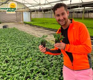 Coffee Plant Arabica 3 in