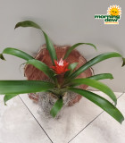Bromeliad Assorted 6 in
