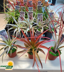 Bromeliad Tillandsia 2 in