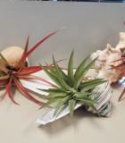 Bromeliad Tillandsia Shell 3 in