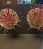 Bromeliad Tillandsia Shell 4 in