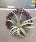 Bromeliad Tillandsia Wreath 8 in