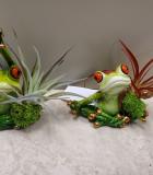 Bromeliad Tillandsia Yoga Frogs 3 in
