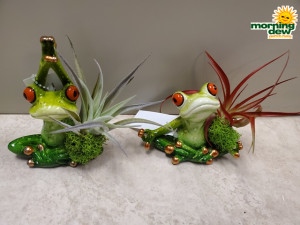 Bromeliad Tillandsia Yoga Frogs 3 in