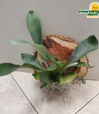 Fern Staghorn 6 in