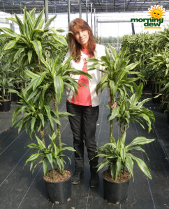 Dracaena Warneckii Lemon Lime Cane 10 in