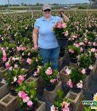 Flowering HB Mandevilla Pink Blushing 10 in
