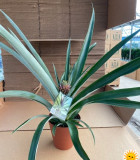 Fruit Pineapple 6 in