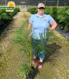 Palm Ravenea (Majesty) 10 in