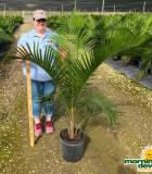 Palm Ravenea (Majesty) 12 in
