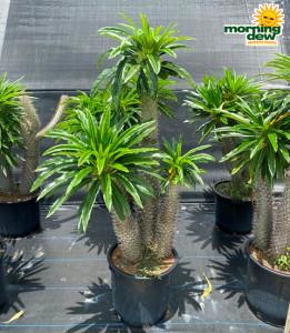 Cactus Madagascar Palm
