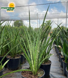 Sansevieria African Spears