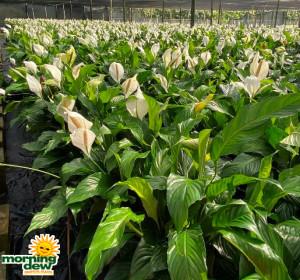 Spathiphyllum Knockout & Sweet Pablo