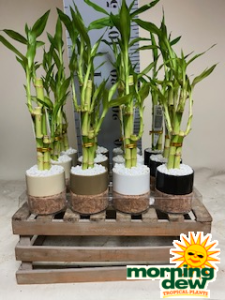 cork with lucky bamboo