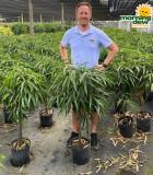 Ficus Alii Braid