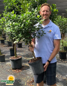 Ficus Daniella Braid