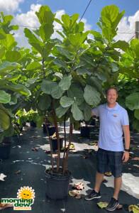 Ficus Lyrata (Pandurata) Std