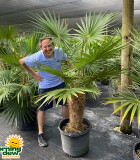 Palm Coccothrinax Crinata (Old Man)