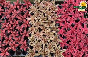 Bromeliad Cryptanthus 2 in