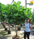 Ficus-Lyrata (Pandurata) Std 21 in