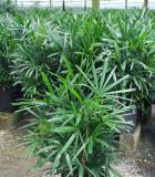 Palm Rhapis Excelsa 12 in