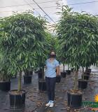 Ficus Alii Standard 21 in