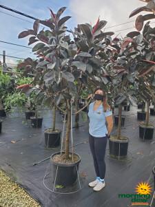 Ficus Elastica Burgundy 21 in