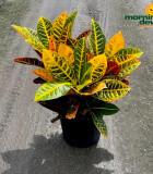 Croton Petra 10 in